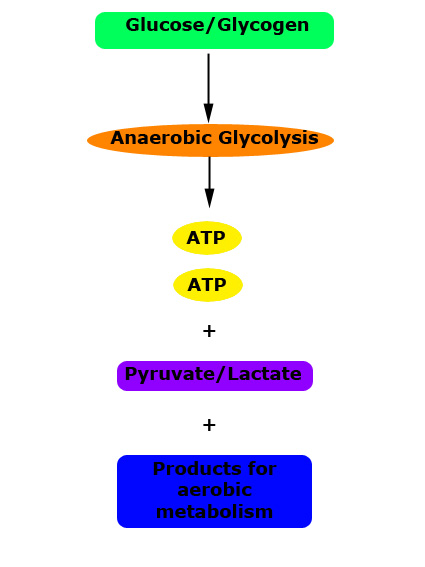 breakdown and resynthesis of atp Food fuels and three energy systems we get energy from 3 food sources carbohydrates, fats and proteins breakdown anearobic aearobic atp resynthesis co2 + h20.